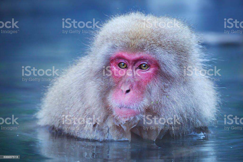 Japanese snow monkey bathing in hot spring in Jigokudani Park stock photo