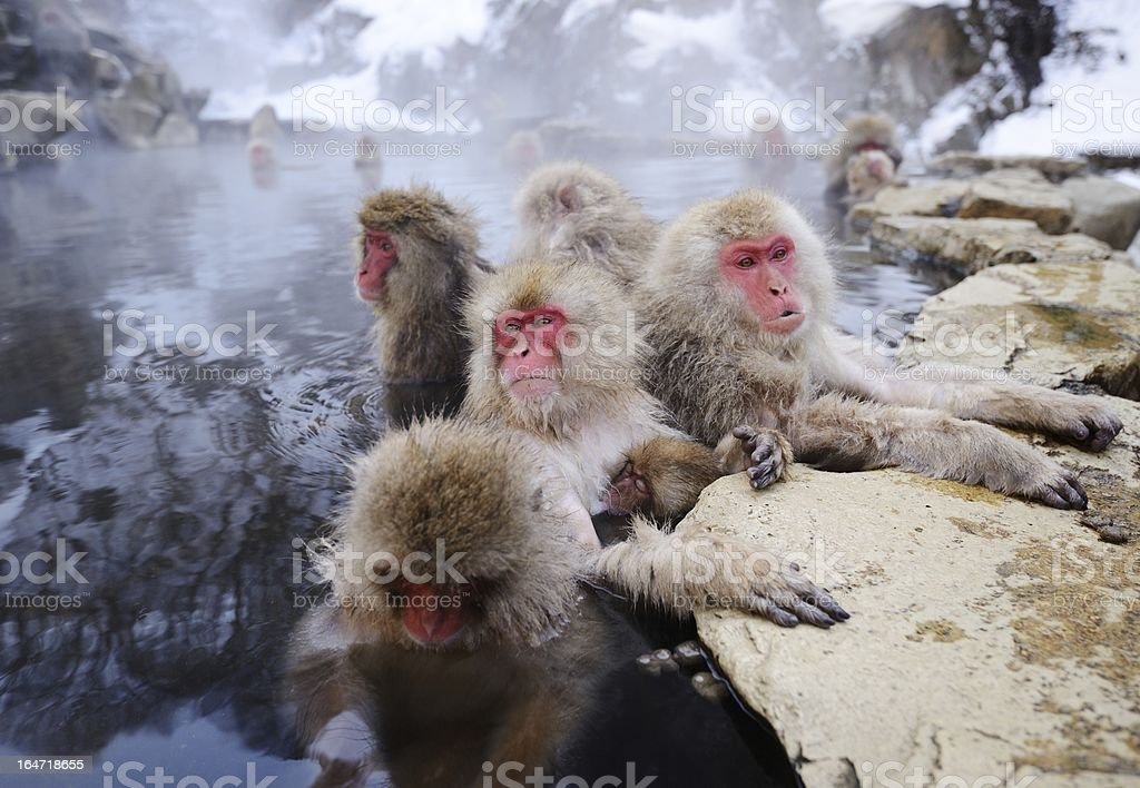 Japanese snow monkey in a hot spring stock photo