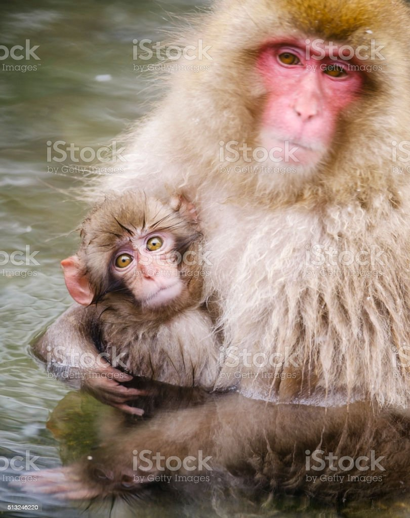 Japanese Snow Monkey Mother in the Wild stock photo