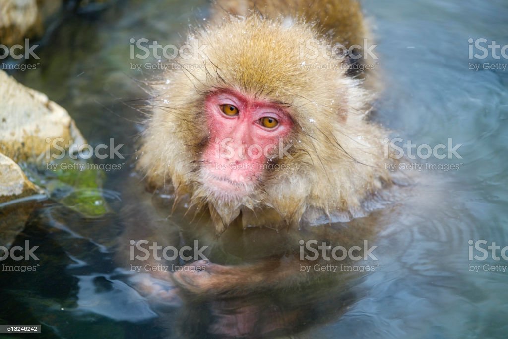 Japanese Snow Monkeys Bathing in the Wild stock photo