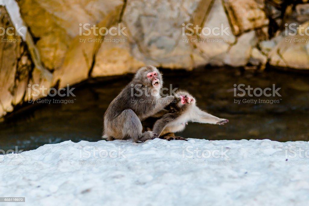 Japanese Snow Monkeys stock photo