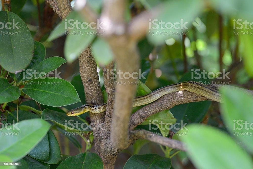 Japanese striped snake (Elaphe quadrivirgata) on tree stock photo