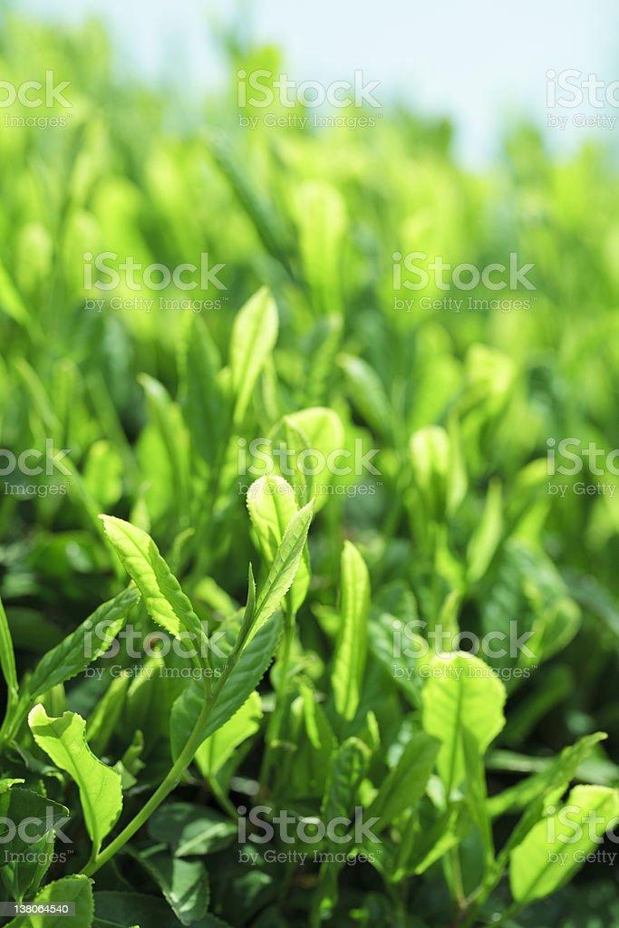 Japanese Tea Plantation royalty-free stock photo