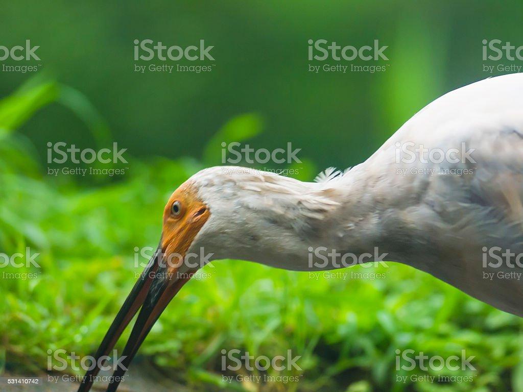 Japanese Toki or  Crested Ibis on Sado Island, Japan stock photo