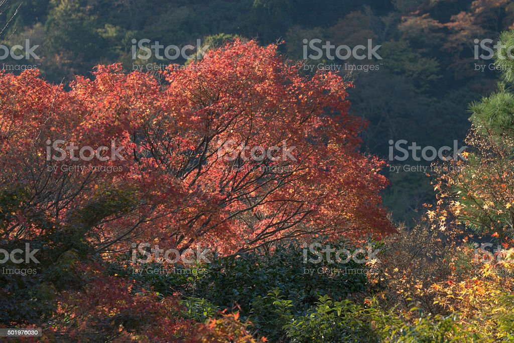 Japanese trees stock photo