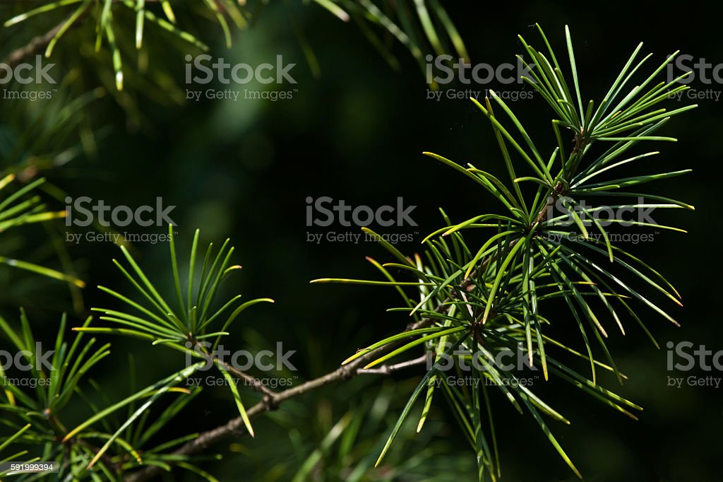 Japanese umbrella pine (Sciadopitys verticillata) stock photo