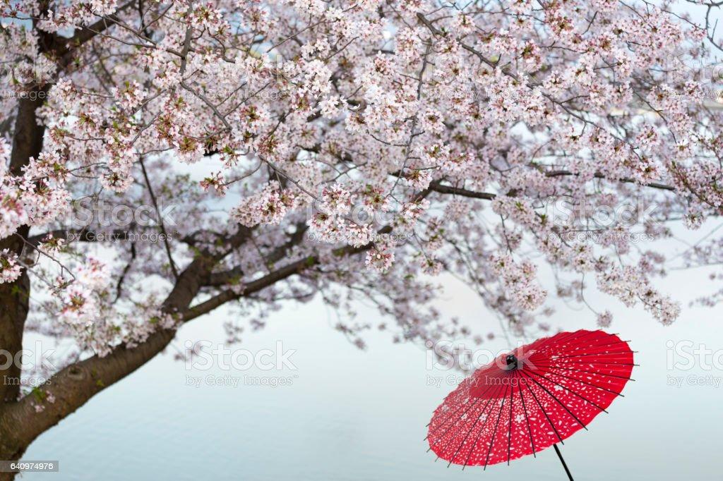 Japanese umbrella under Cherry blossom branches stock photo