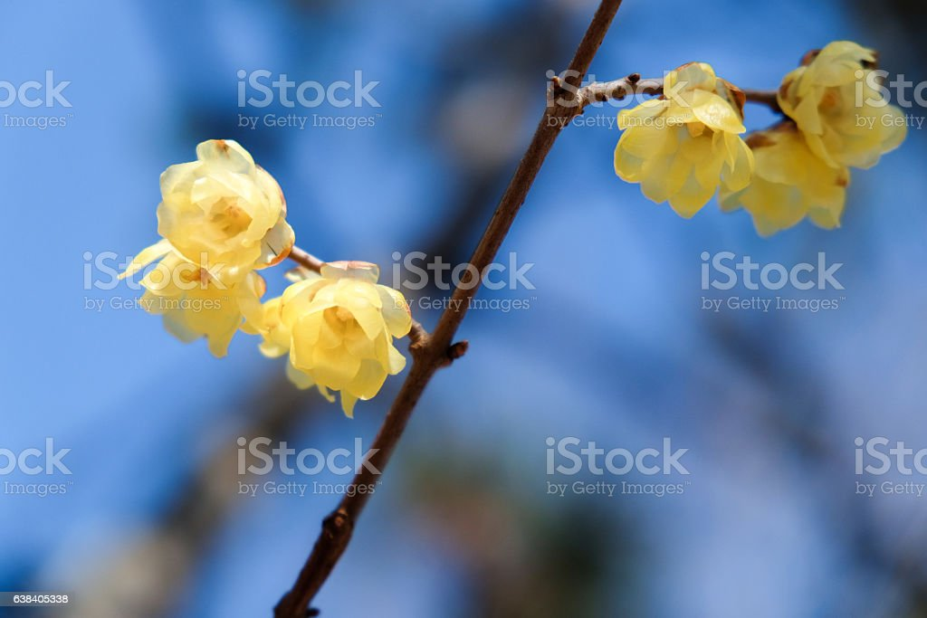 Japanese wax plums in blue sky stock photo