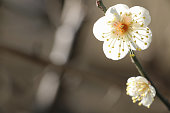 Japanese white plum on brown background
