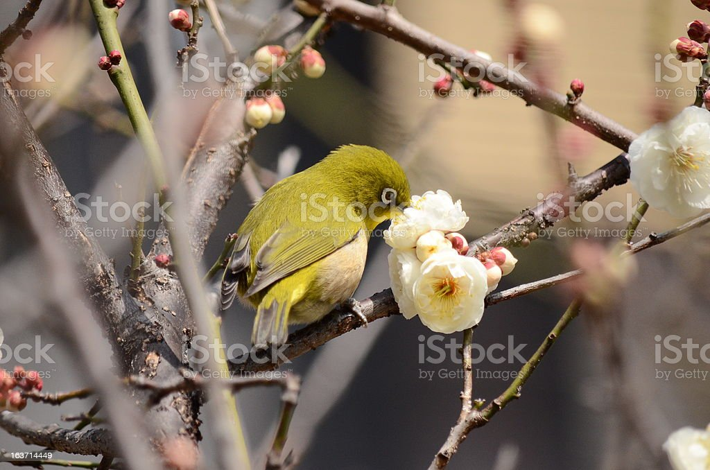 Japanese white-eye and a plum 2013 royalty-free stock photo