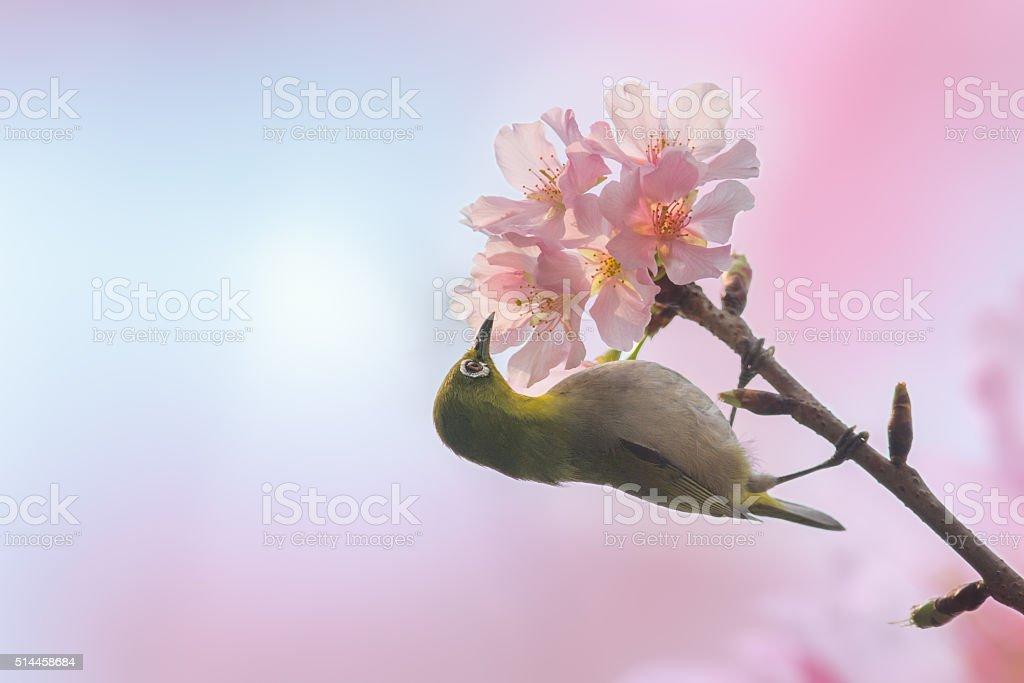 Japanese white-eye bird in Cherry blossoms stock photo