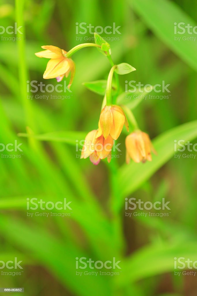 Japanese yellow orchid stock photo