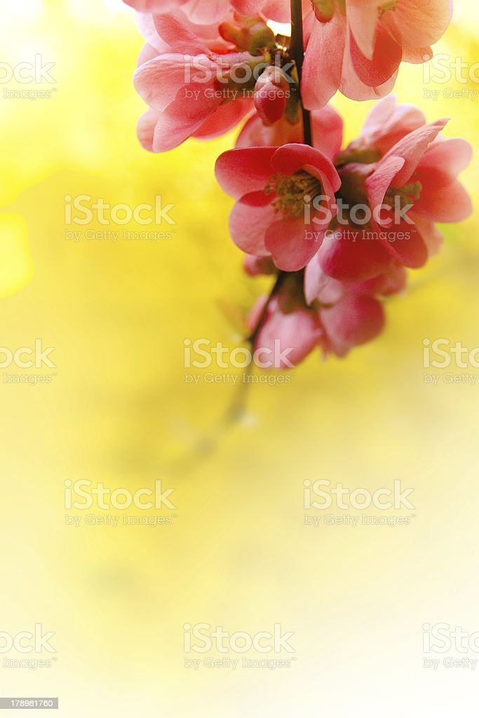 Japenese flowering crabapple flowers royalty-free stock photo