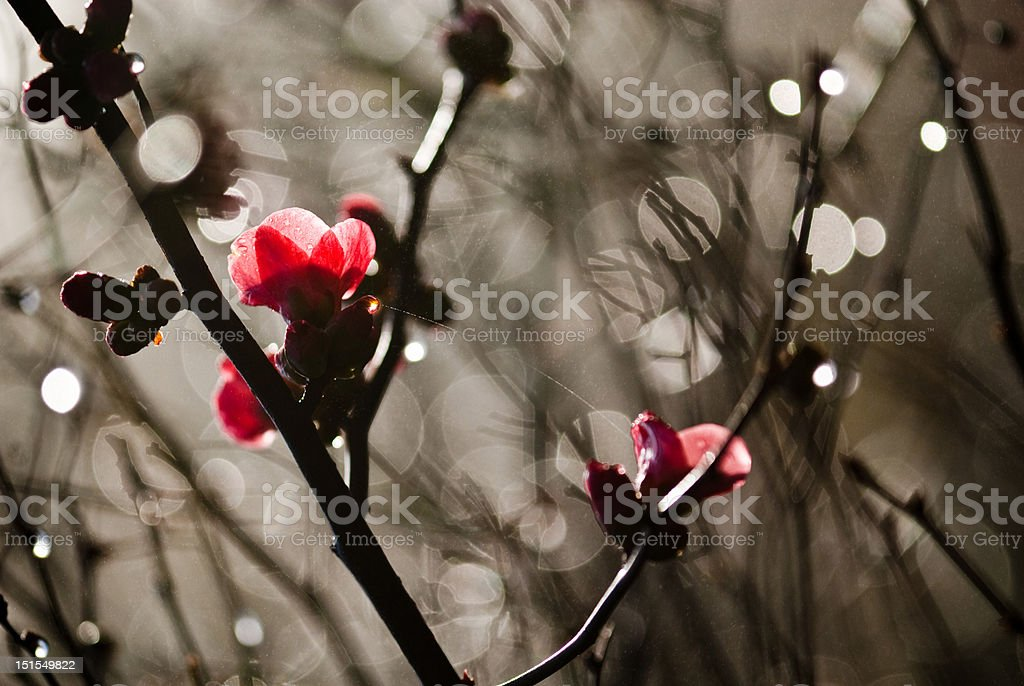 Japonica in mist stock photo