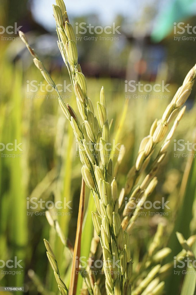 Jasmin rice on filed royalty-free stock photo