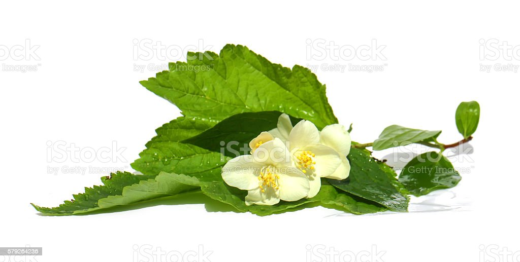 jasmine branch stock photo
