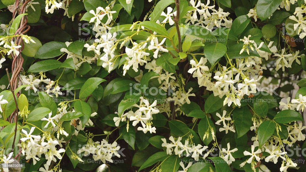 Jasmine flower blooms stock photo