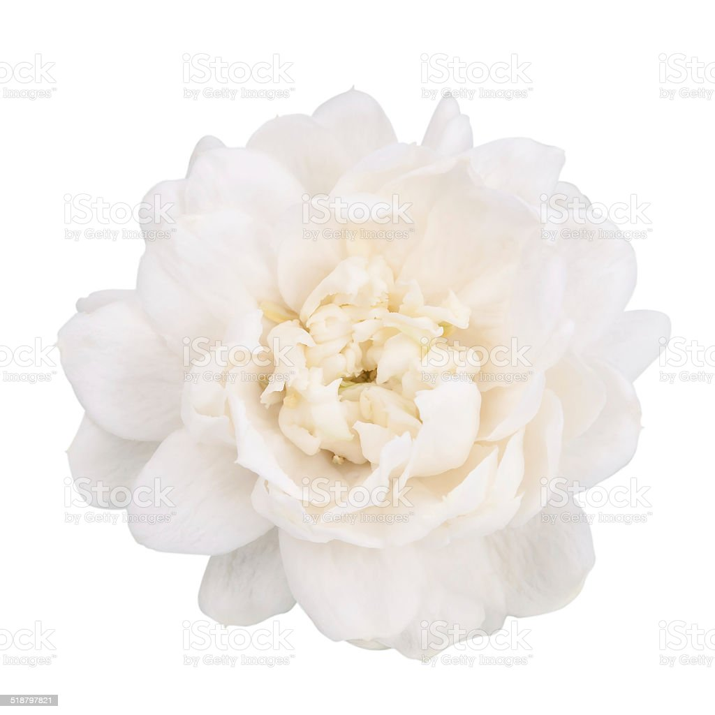 Jasmine flower isolated with clipping path. stock photo