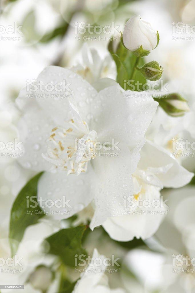 Jasmine flower. royalty-free stock photo