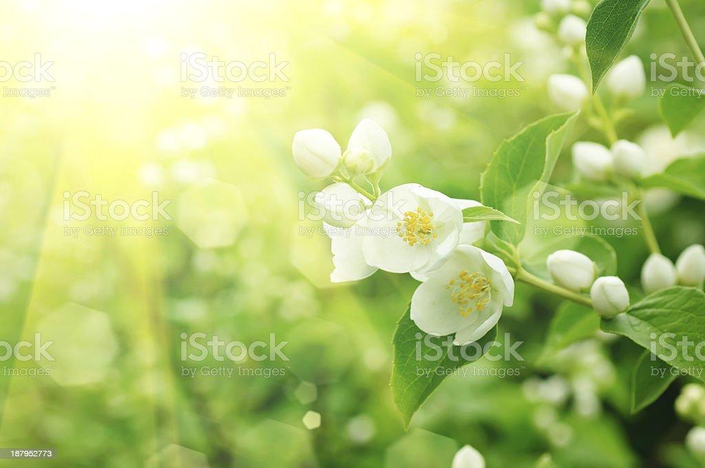 Jasmine flower royalty-free stock photo