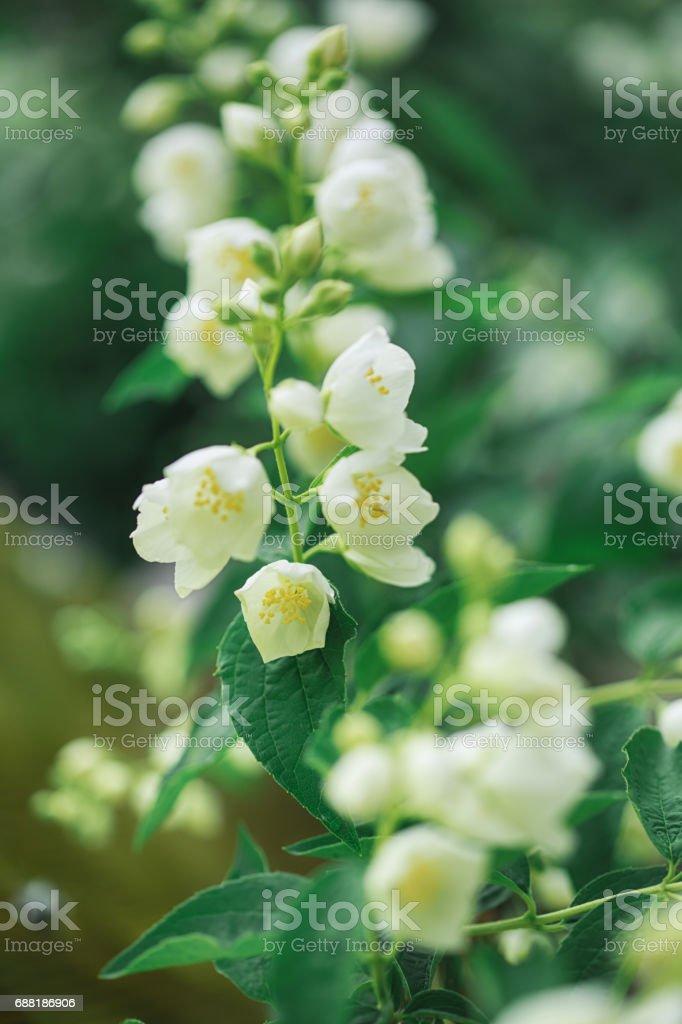 Jasmine flowers blossoming on bush stock photo