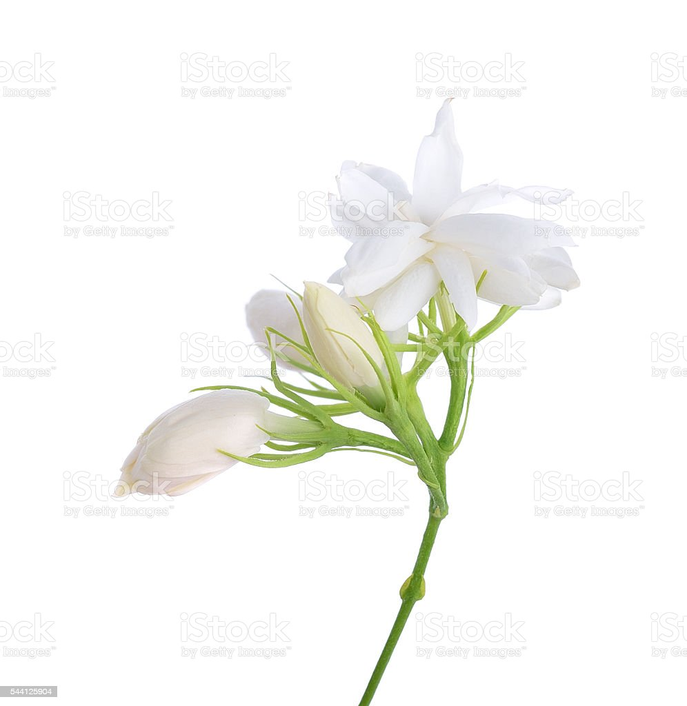 Jasmine isolated on white background stock photo