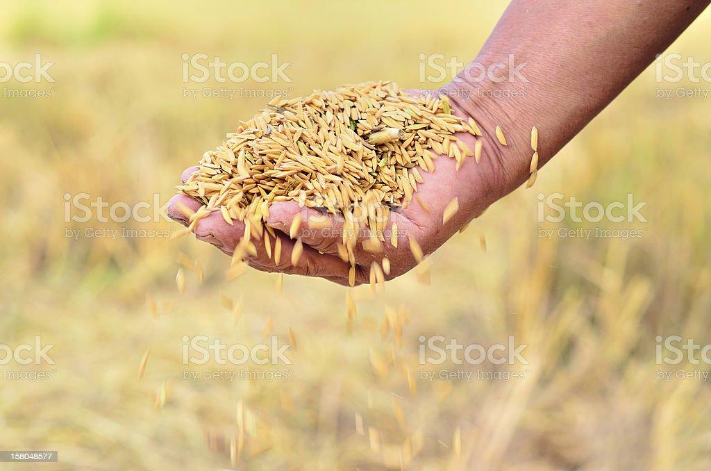 jasmine rice seed in farmer hand stock photo