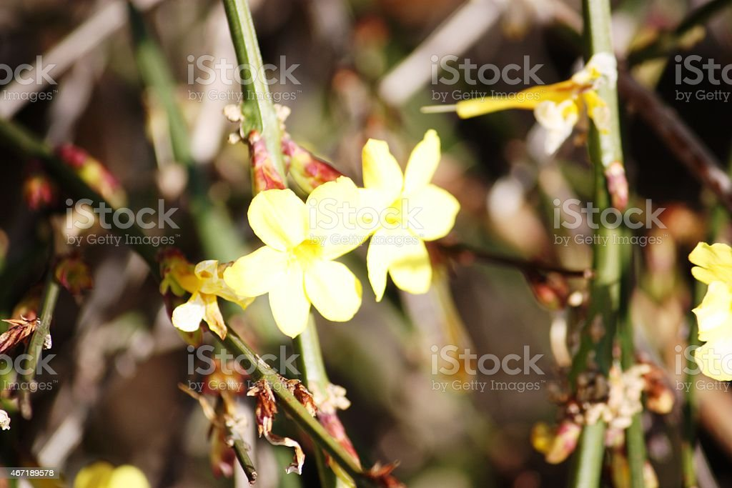 Jasmine, yellow flowering winterjasmine stock photo