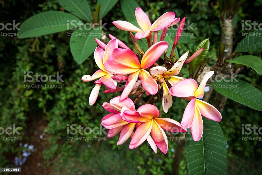 Jasmin-manga (Plumeria rubra) stock photo
