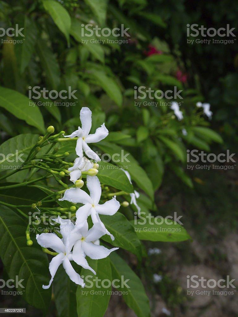 jasminum sambac, sampaguita jasmine royalty-free stock photo