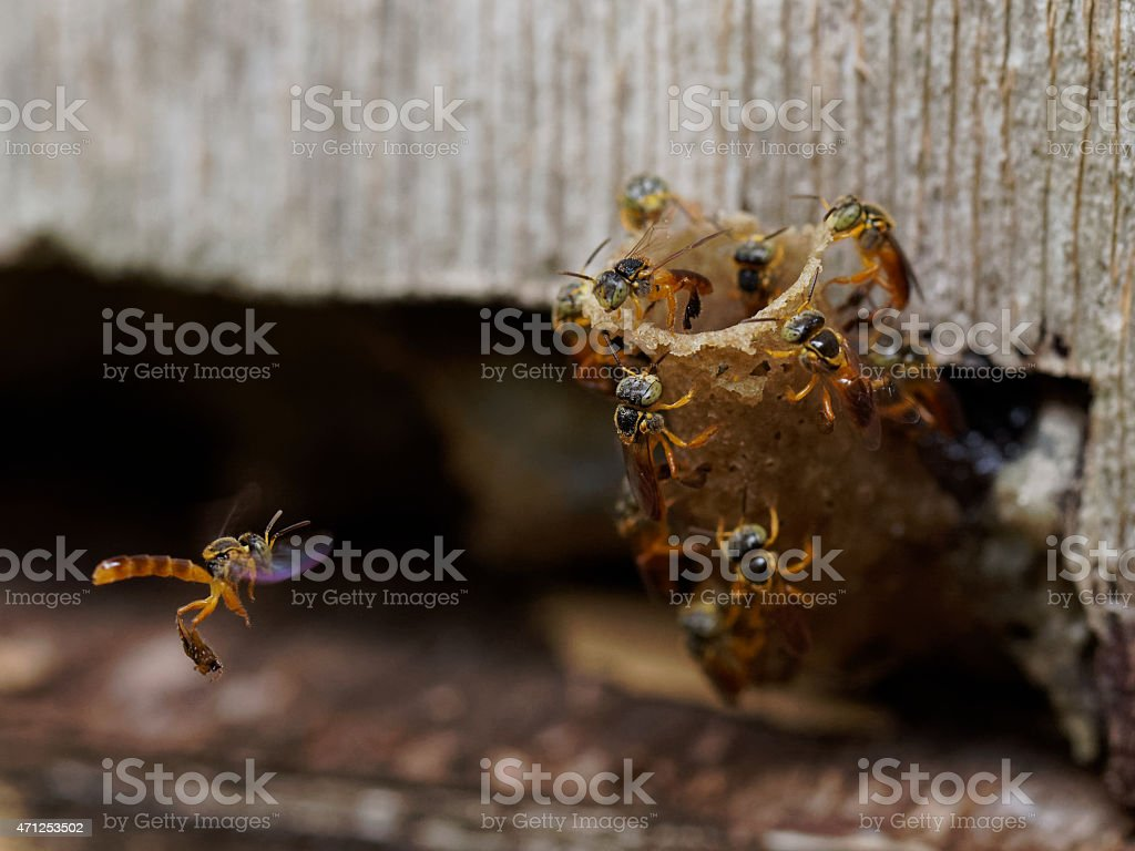 Jatai bees building their nest stock photo