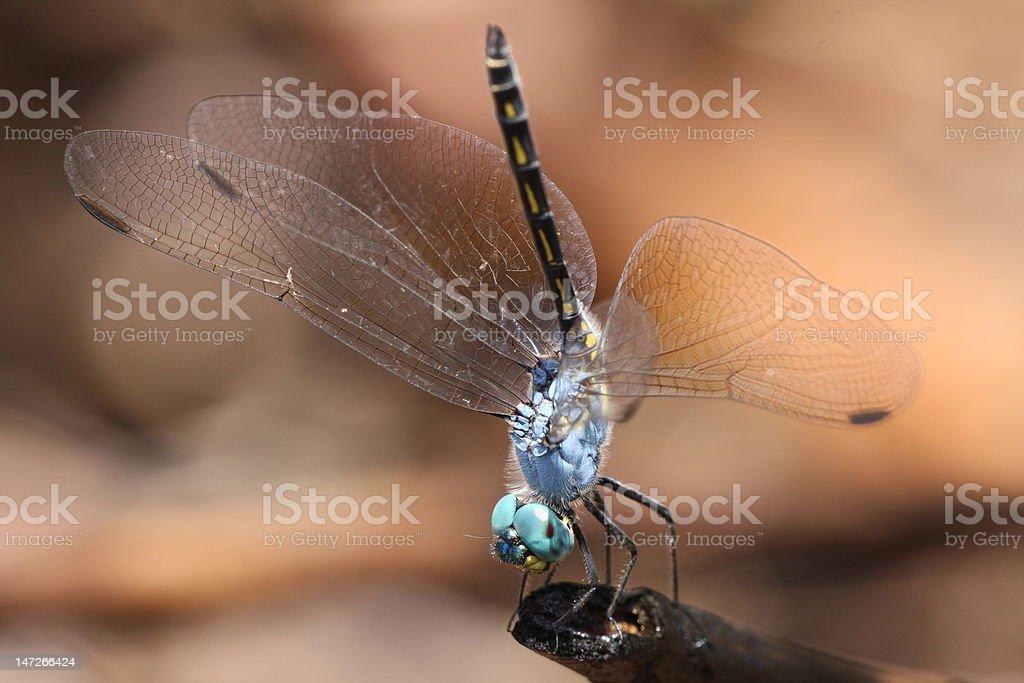 Jaunty Dropwing Dragonfly royalty-free stock photo