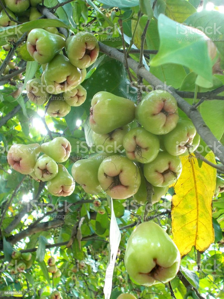 java apples on the tree stock photo