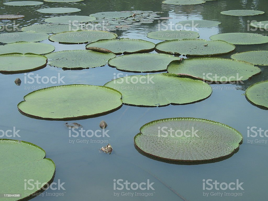Java, Giant Lily Pads royalty-free stock photo