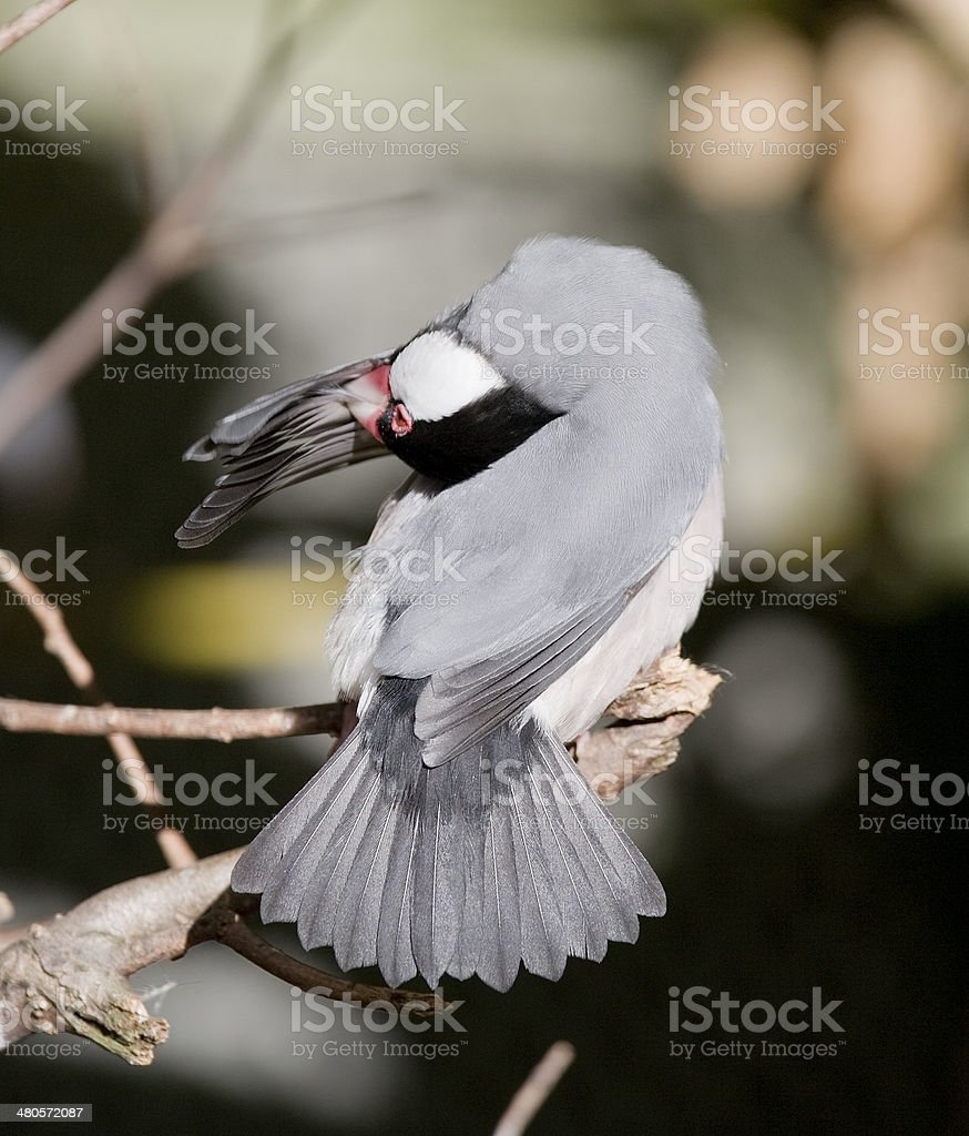 Java sparrow royalty-free stock photo
