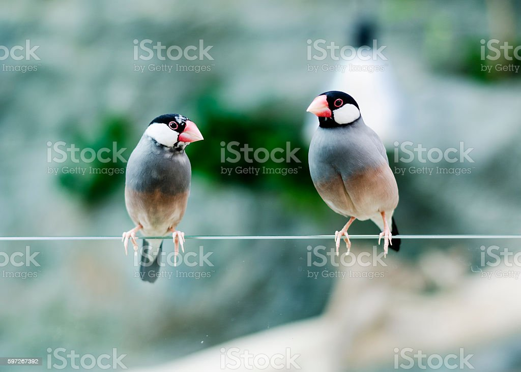 Java sparrows stock photo