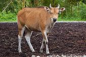 Javan banteng (Bos javanicus)