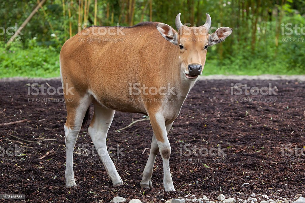 Javan banteng (Bos javanicus) stock photo