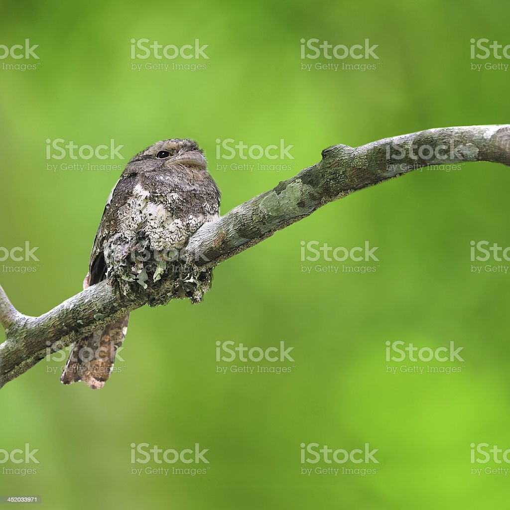 Javan Frogmouth Bird stock photo
