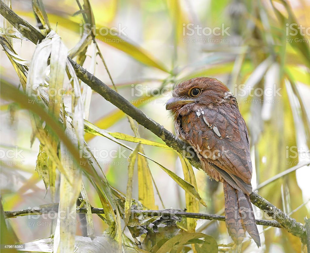 Javan Frogmouth male (Batrachostomus javensis) on a branch, stock photo
