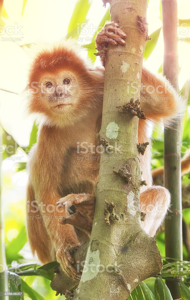 Javan Langur Monkey stock photo