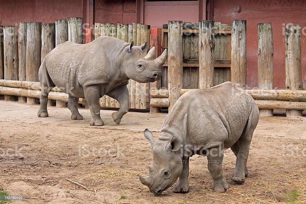 Javan Rhinoceros and Calf stock photo