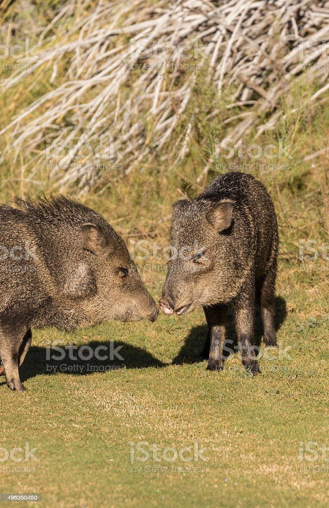 Javelina Nose to Nose stock photo