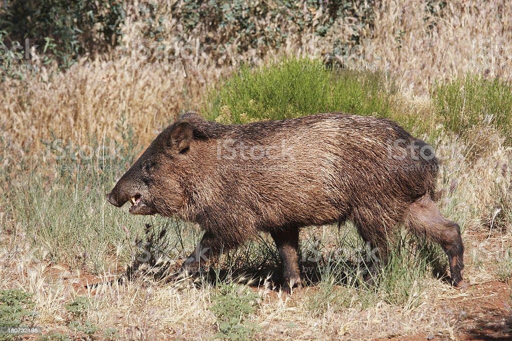 Javelina Pecari tajacu Wild Animal Pig royalty-free stock photo