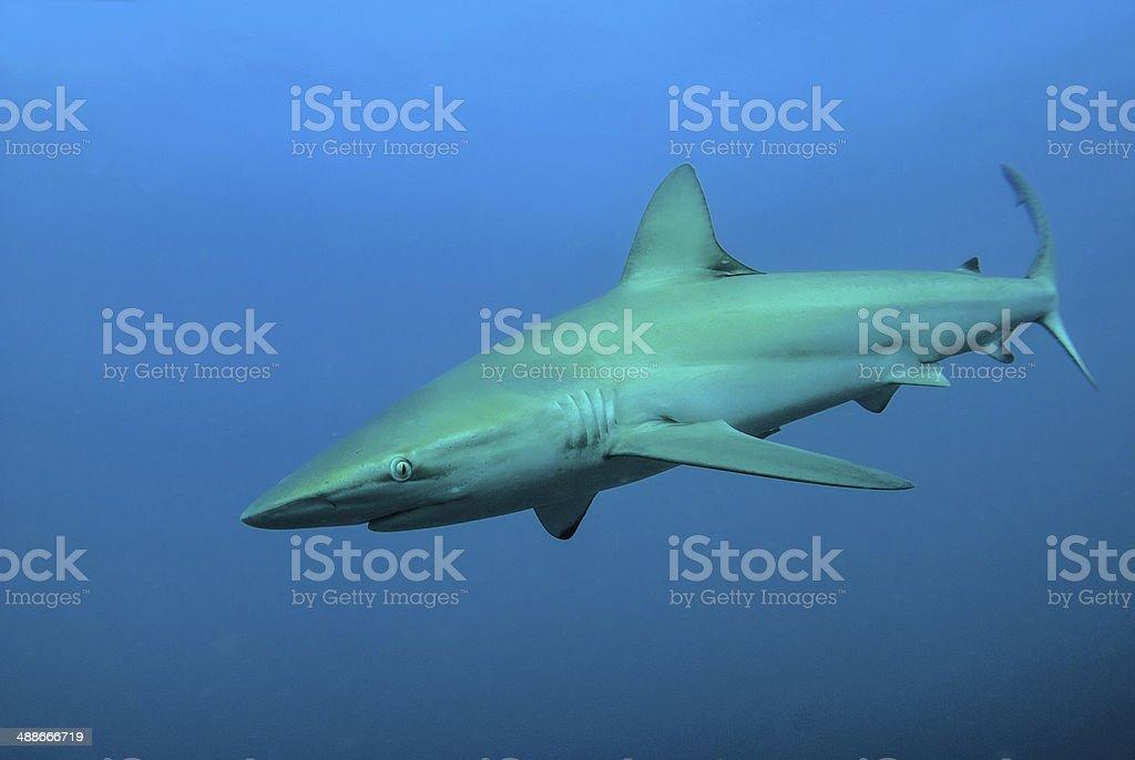Jaws royalty-free stock photo