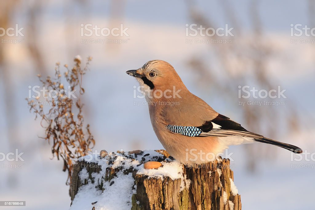 Jay at the feeder stump at sunny winter day stock photo