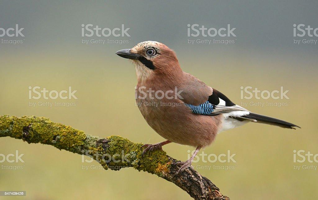 Jay bird stock photo