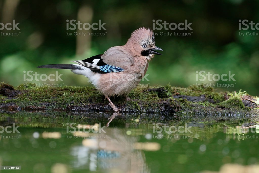 Jay, Garrulus glandarius stock photo