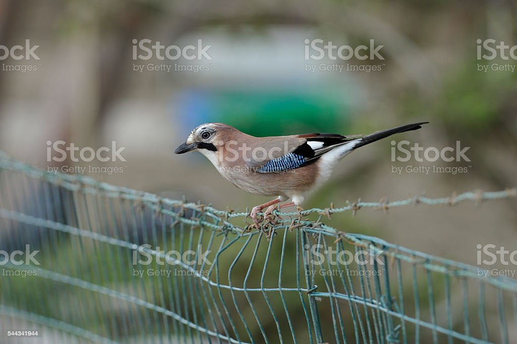 Jay near a vegetable garden stock photo