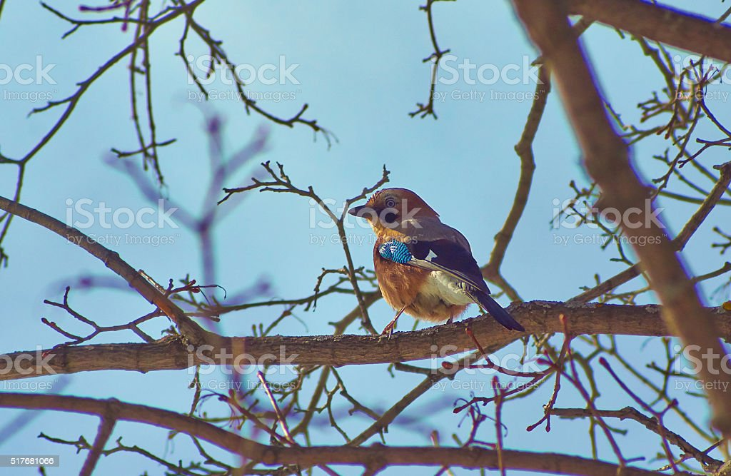 Jay on a tree branch in forest. stock photo